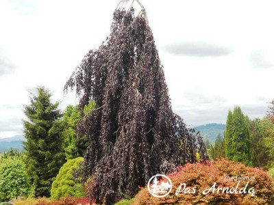 Bukas paprastasis ,Purple Fountain' (lot. Fagus sylvatica) -c16